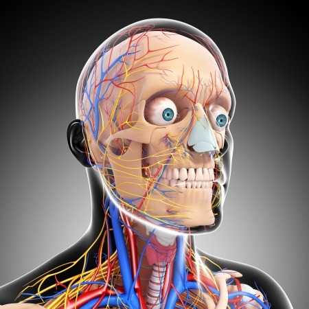side view of head circulatory system isolated with gray photo