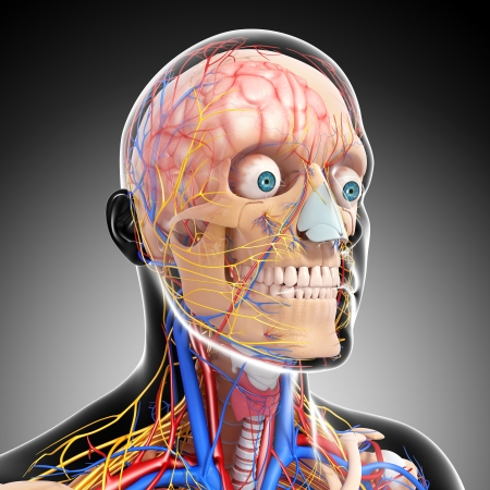 side view of head circulatoryand nervous system with gray photo