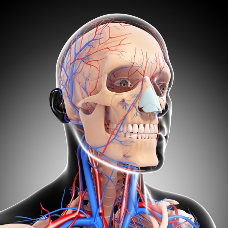 side view of head circulatory system with gray photo
