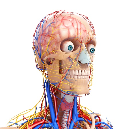 circulating: side view of head circulatory system with eyes, throat isolated on white