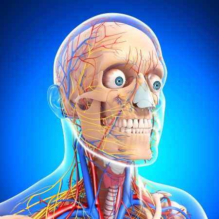 aorta: side view of head circulatory system with blue background with eyes, throat