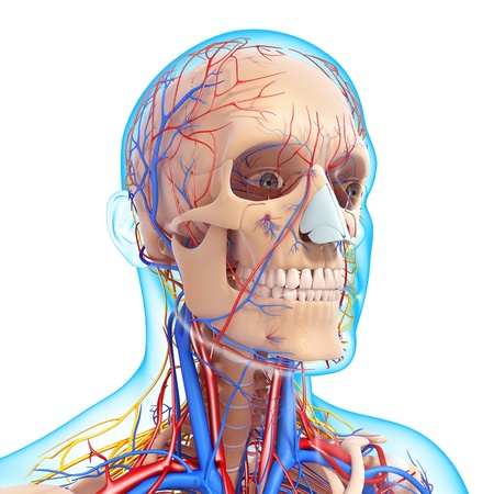 human vein  heartbeat: front view of head circulatory system and nervous system with blue boundry