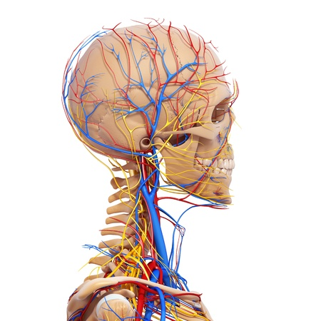 ventricle: side view of head circulatory system and nervous system with skeleton without nose