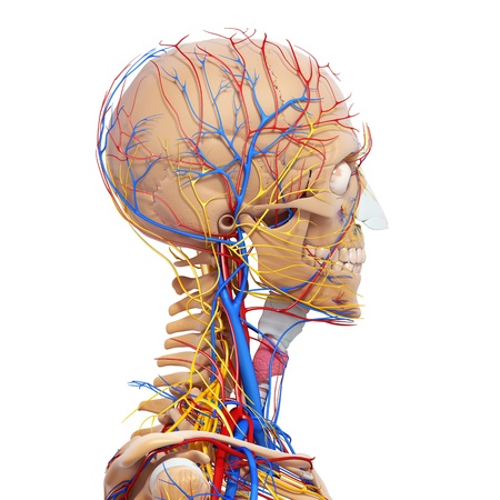 throat: side view of head circulatory system and nervous system with skeleton
