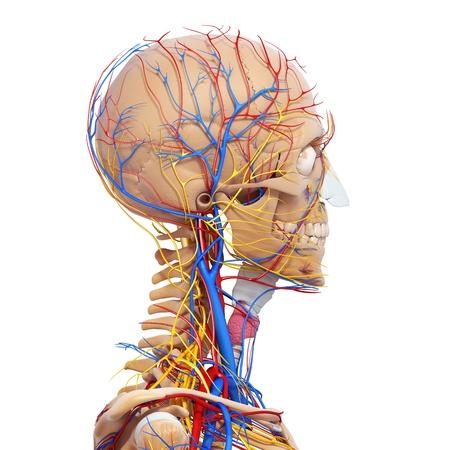 sistema nervioso: vista lateral del sistema circulatorio cabeza y el sistema nervioso con el esqueleto