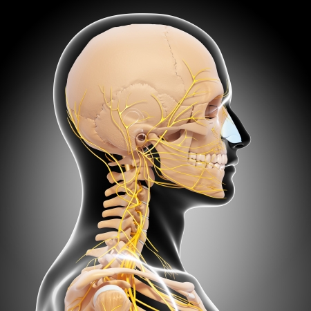 Skeleton of man side view of head and nervous system photo