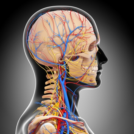 side view of head circulatory system and nervous system isolated in gray photo