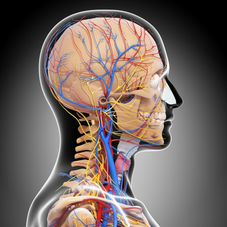 side view of head circulatory system and nervous system in gray photo