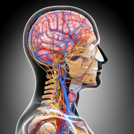 side view of brain circulatory system and nervous system in gray