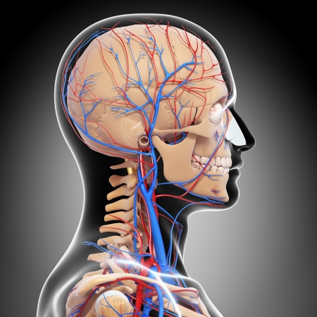 side view of circulatory system of head with, eyes, throat, teeth isolated in gray photo