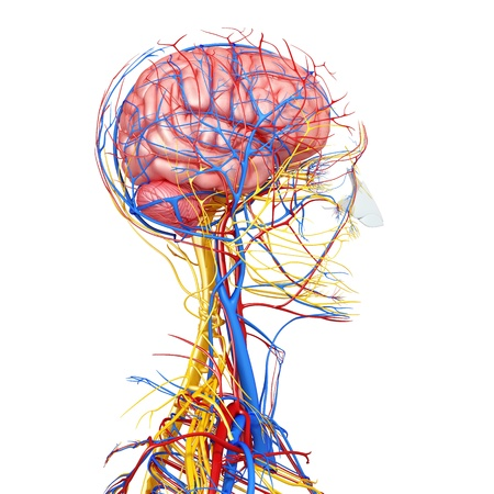 human vein  heartbeat: side view of brain circulatory and nervous system isolated with whitead with, eyesback view of brain circulatory and nervous system isolated with white, throat, teeth and circulatory system isolated in white without skeleton