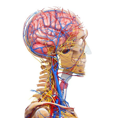 side view of brain circulatory and nervous system isolated with whitead with, eyesback view of brain circulatory and nervous system isolated with white, throat, teeth and circulatory system isolated in white photo