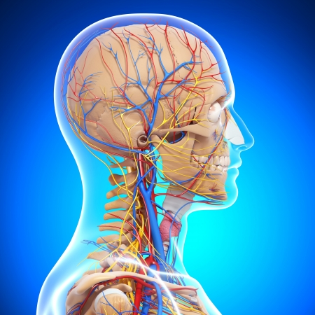 side view of brain circulatory and nervous system with, eyes, throat isolated with blue photo