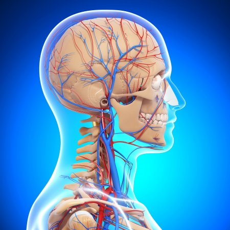 circulation: side view of brain circulatory and nervous system with, eyes, throat