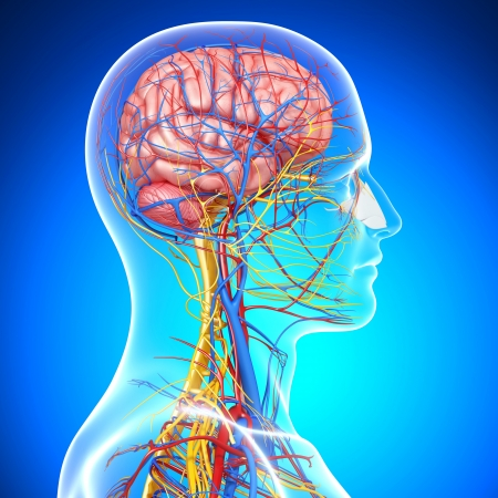 blood circulation: side view of brain circulatory and nervous system with, eyes, throat, teeth isolated with blue Stock Photo