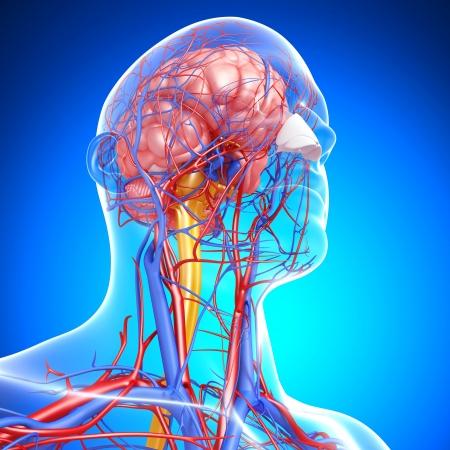 circolazione: vista laterale del sistema circolatorio con cervello, occhi, gola, denti isolati in sfondo blu