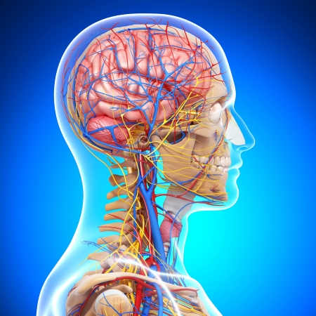 side view of brain circulatory system with, eyes, throat, teeth isolated in blue photo
