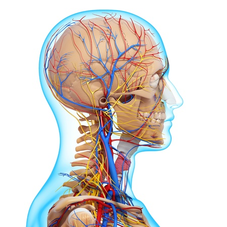 side view of head circulatory system with, eyes, throat, teeth  photo