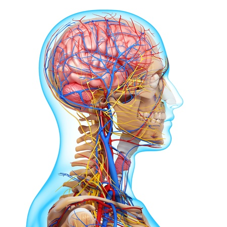 throat: side view of brain circulatory system with, eyes, throat, teeth