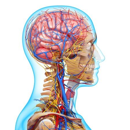 nerveux: vue de côté du système circulatoire du cerveau avec les yeux, la gorge, les dents