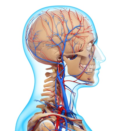 ventricle: side view of head circulatory system with, eyes, throat, teeth isolated in white