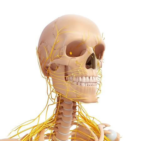 x rays negative: nervous system of side view of human skeleton of head with eyes, teeth