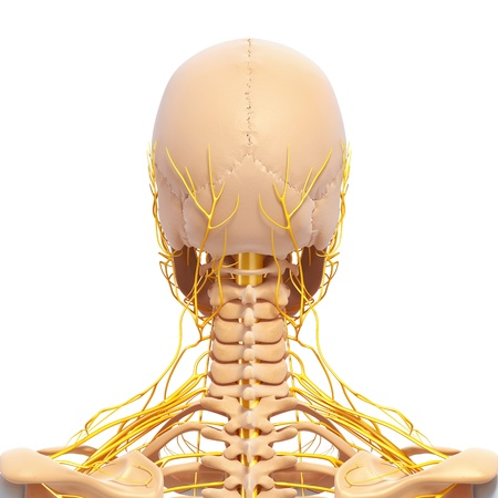 nervous system of back view of human skeleton of head with eyes, teeth photo