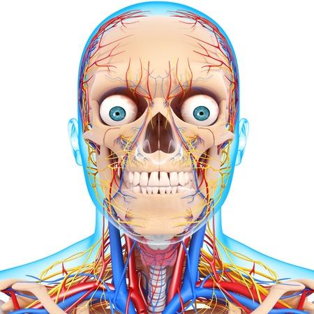 fisiologia: cabeza nervioso, los ojos, la garganta, los dientes y el sistema circulatorio con azul boundry