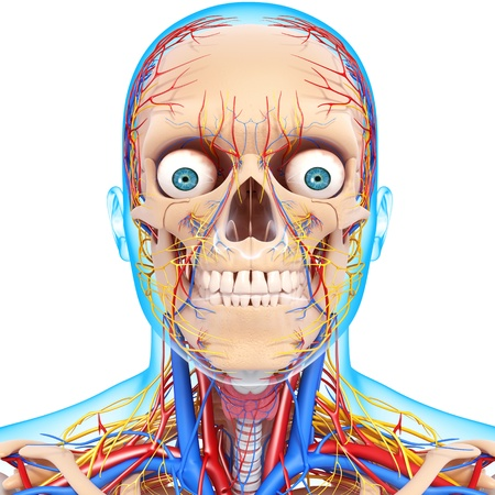 blood circulation: nervous head with, eyes, throat, teeth and circulatory system with blue boundry Stock Photo