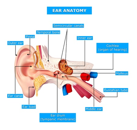vestibule: ear cut view with names  Stock Photo