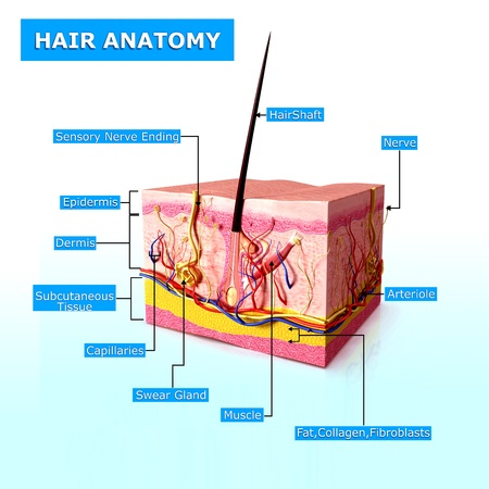 shaft: illustration of hair anatomy with names Stock Photo