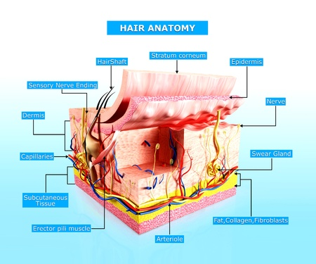 stratum: Human skin hair anatomy diagram
