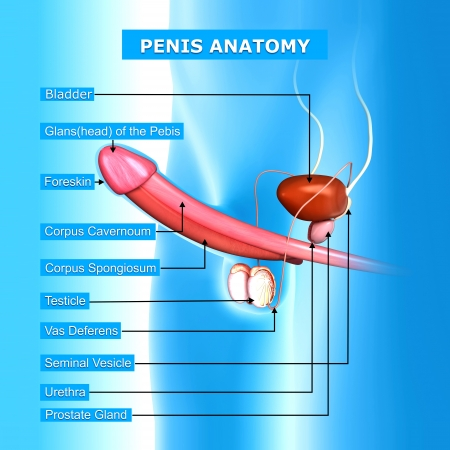testis: illustration of male reproductive system with names Stock Photo