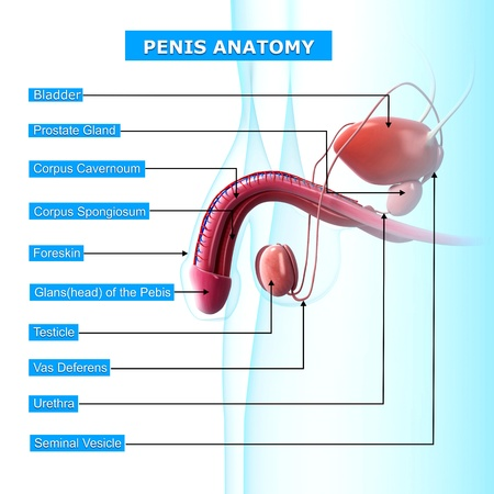 male reproductive system with names