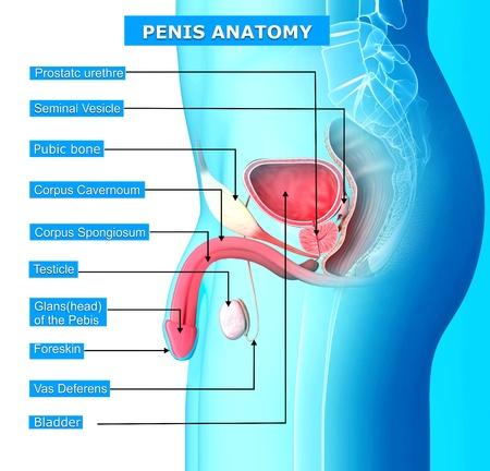 testiculos: Anatomía del sistema reproductor masculino con nombres de Foto de archivo