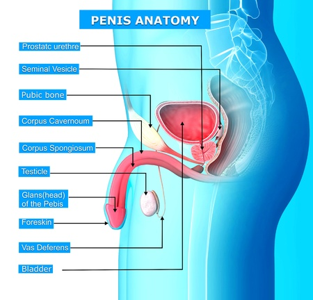 anatomy of reproductive system of male with names photo