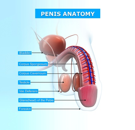 illustration of reproductive system of male with names illustration