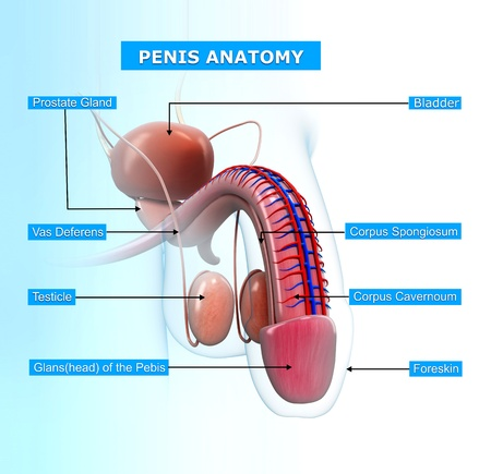 testicles: sistema reproductor masculino con nombres de Foto de archivo