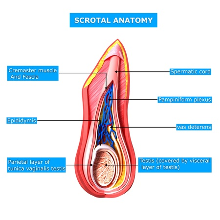 reproductive system: scrotal layer with names Stock Photo