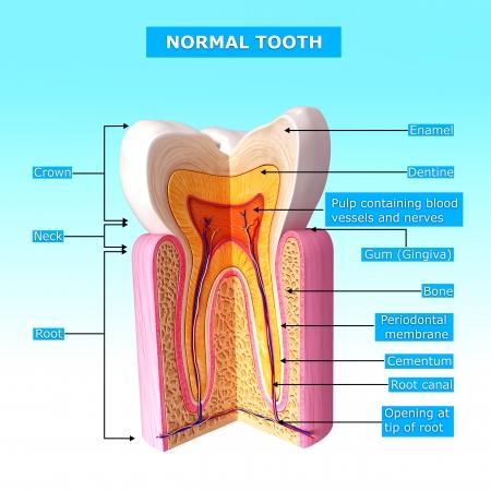 teeth cut section in blue