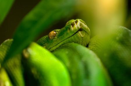 viridis: morelia (chondropython) viridis