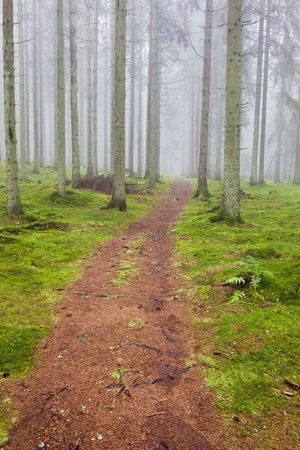 안개 낀 가문비 나무 숲을 통해 하이킹 트레일 스톡 콘텐츠