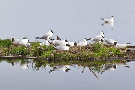 birdnest: Black-headed Gull is nesting on a small island Stock Photo