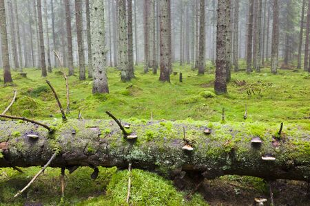 fungi woodland: Fallen Spruce tree in the forest with morning mist