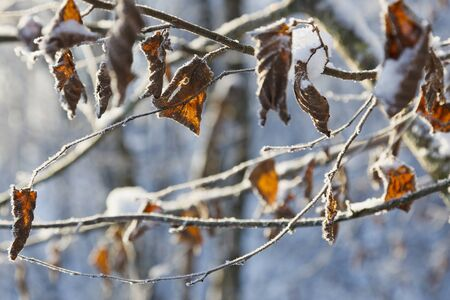 Frozen leaves with frost in the forest photo