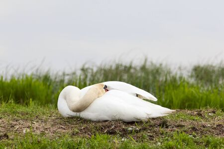 Mute Swan nests in the lake Stock Photo - 10222054