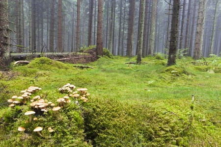 fungi woodland: Spruce tree in the forest with morning mist
