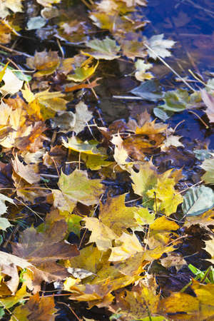 Autumn colored Maple Leaf floating in the water Stock Photo - 10222056