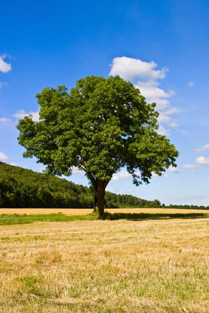 Lonely tree on the field Stock Photo