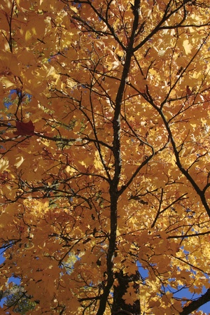 Maple tree in autumn color Stock Photo - 10334592
